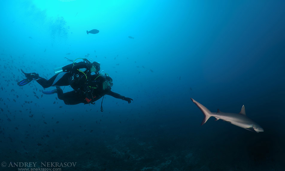 Young couple diver swims and shows a grey reef shark (Carcharhinus amblyrhynchos), Indian Ocean, Maldives