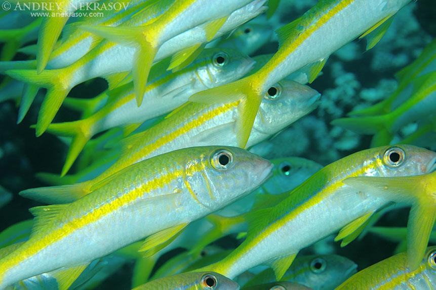 Yellowfin goatfish (Mulloidichthys vanicolensis), Red Sea, Egypt, Africa