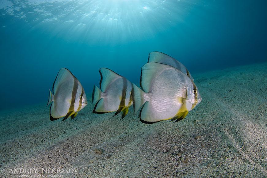 Orbicular batfish, circular batfish, orbiculate batfish, round batfish, or orbic batfish (Platax orbicularis) Red sea, Marsa Alam, Abu Dabab, Egypt