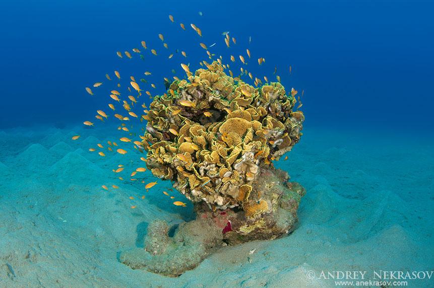 Single coral on a sandy bottom, Red sea, Marsa Alam, Abu Dabab, Egypt