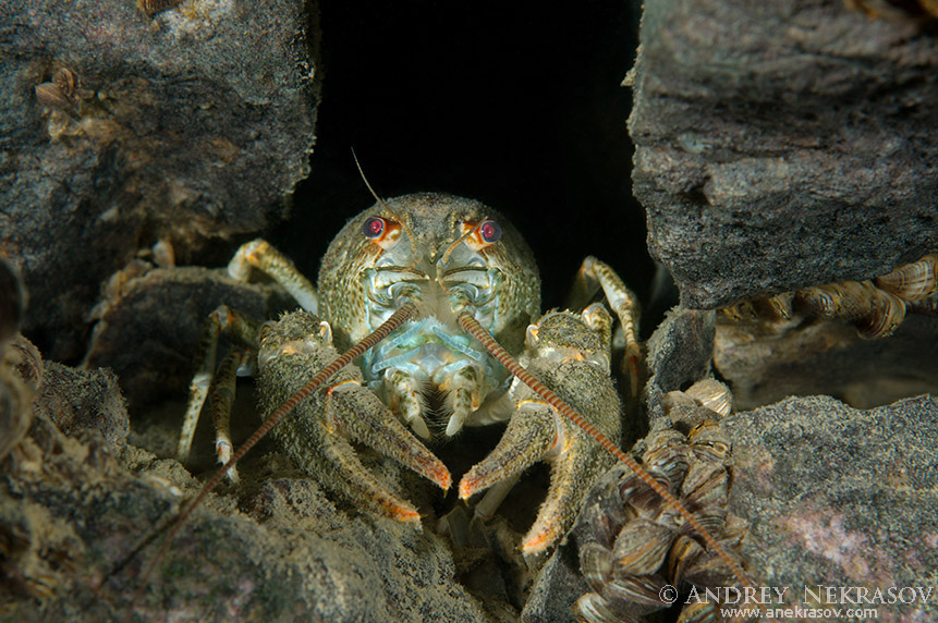 European crayfish, noble crayfish or broadfingered crayfish (Astacus astacus) Get out of the hole, granite quarry Aleksandrovskiy, Ukraine
