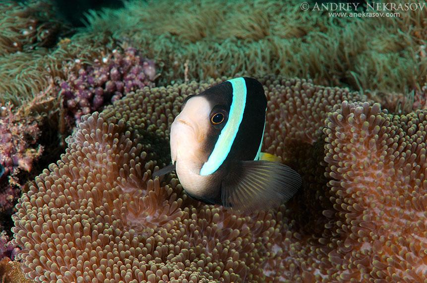 Sebae Anemonenfisch (Amphiprion sebae) Bohol Sea, Philippines, Southeast Asia