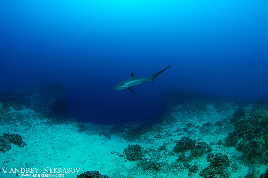 common thresher shark (Alopias vulpinus)  Bohol Sea,  Philippines, Southeast Asia