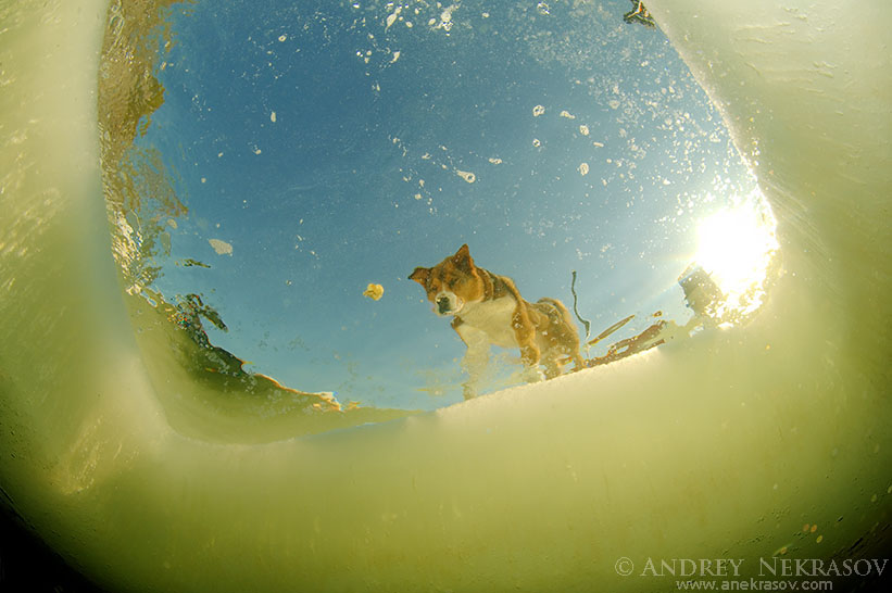 Siberian Husky looking under ice, Arctic, Russia, Russian north, Kareliya, White sea