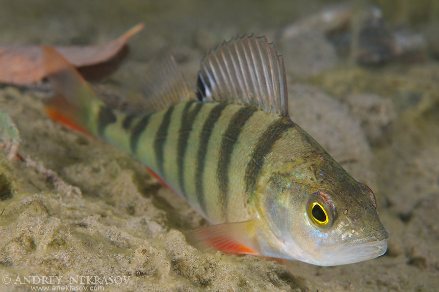 European perch, perch, redfin perch or English perch (Perca fluviatilis) granite quarry Aleksandrovskiy, Ukraine
