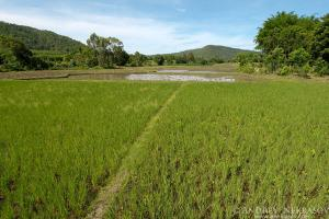 Pathway in the rice fields, Loei province, Thailand