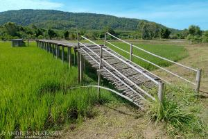 Bamboo bridge over the rice field, Loei province, Thailand