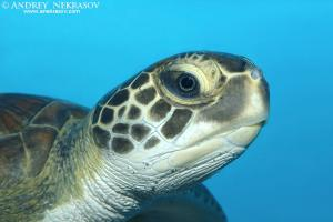 Portrait green sea turtle (Chelonia mydas), Red Sea, Hurghada, Egypt, Africa