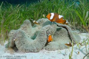 saddleback clownfish or yellowfin anemonefish (Amphiprion polymnus) Bohol Sea, Philippines, Southeast AsiaBohol Sea, Philippines, Southeast Asia