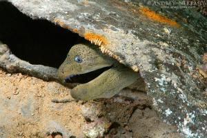 Giant moray (Gymnothorax javanicus) on the shipwreck SS Thistlegorm. Red Sea, Egypt, Africa