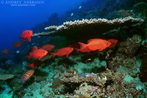 Priacanthus hamrur, lunartailed bigeye or moontail bullseye (Priacanthus hamrur),. Red sea, Egypt, Africa