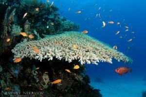 The life of a coral reef, Red sea, Marsa Alam, Abu Dabab, Egypt