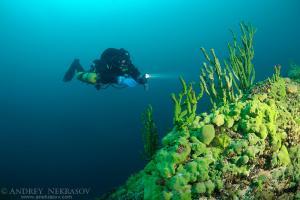 Diver & Demosponge (Lubomirskia baicalensis), Lake Baikal, Siberia, the Russian Federation, Eurasia.