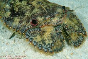 slipper lobster or sculptured mitten lobster (Parribacus antarcticus) Bohol Sea,  Philippines, Southeast Asia