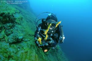 diver releases amphipods, Acanthogammarus (victorii maculosus), Lake Baikal, Siberia, the Russian Federation, Eurasia.