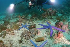 Woman diver photographs starfish Blauer Seestern (Linckia laevigata), Bohol Sea, Philippines, Southeast Asia