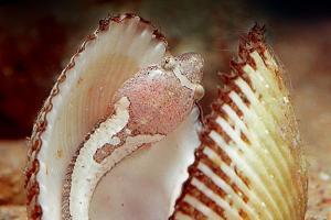 Twospotted clingfish (Diplecogaster bimaculatus), Black sea, Ukraine