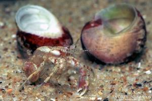 Hermit crab (Diogenes pugilator), Black sea, Ukraine
