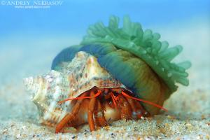 Hermit crab and anemone (Clibanarius erythropus and Actinia equina), Black sea, Ukraine