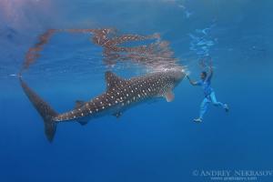 Whale shark (Rhincodon typus) Bohol Sea, Oslob, Cebu, Philippines, Southeast Asia