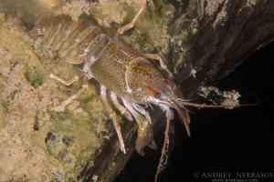 European crayfish, noble crayfish or broadfingered crayfish (Astacus astacus) granite quarry Aleksandrovskiy, Ukraine