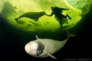 Beluga, White whale (Delphinapterus leucas), White Sea, Karelia, north Russia, Arctic