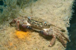 marbled rock crab or marbled crab (Pachygrapsus marmoratus) Black Sea, Crimea, Russia