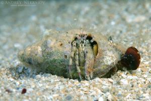 small hermit crab (Diogenes pugilator), Black Sea, Crimea, Russia