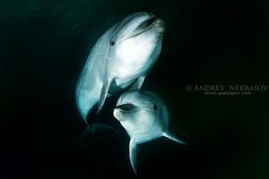 Common bottlenose dolphin or Atlantic bottlenose dolphin (Tursiops truncates) Sea of Japan, Far East, Primorsky Krai, Russian Federation