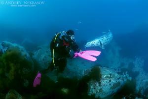 Spotted seal, larga or largha seal (Phoca largha, Phoca vitulina largha), Islands Verkhovskogo, Peter the Great Gulf, Sea of Japan, Far East,  Vladivostok, Russia