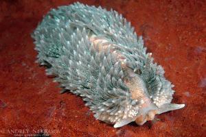 Nudibranch or Sea Slug  (Aeolidia papillosa ) Sea of Japan, Rudnaya Pristan, Far East, Primorsky Krai, Russia