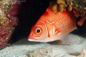 Longjawed squirrelfish (Sargocentron spiniferum)