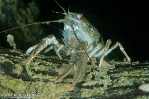 European crayfish, noble crayfish or broadfingered crayfish (Astacus astacus) He sits on the trunk of a submerged tree, granite quarry Aleksandrovskiy, Ukraine