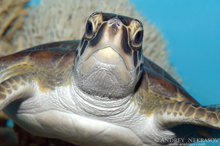 Portrait green sea turtle (Chelonia mydas), Red Sea, Hurghada, Egypt, Africa