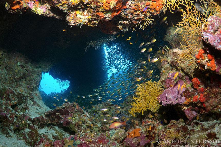 Glassfish (Parapriacanthus guentheri). Ras Muhammad National Park, Sinai Peninsula,  Sharm elSheikh, Red sea, Egypt, Africa
