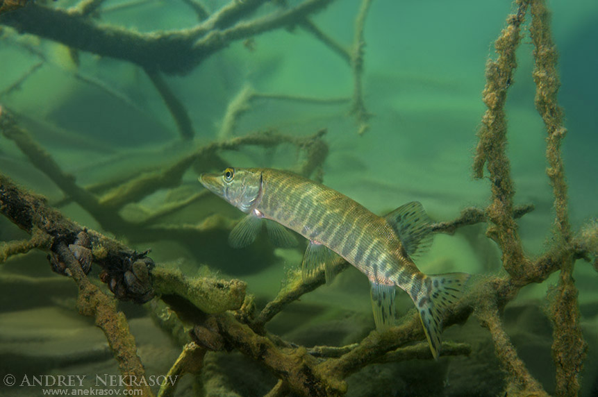 northern pike (Esox lucius) Hidden among the branches of submerged tree, granite quarry Aleksandrovskiy, Ukraine