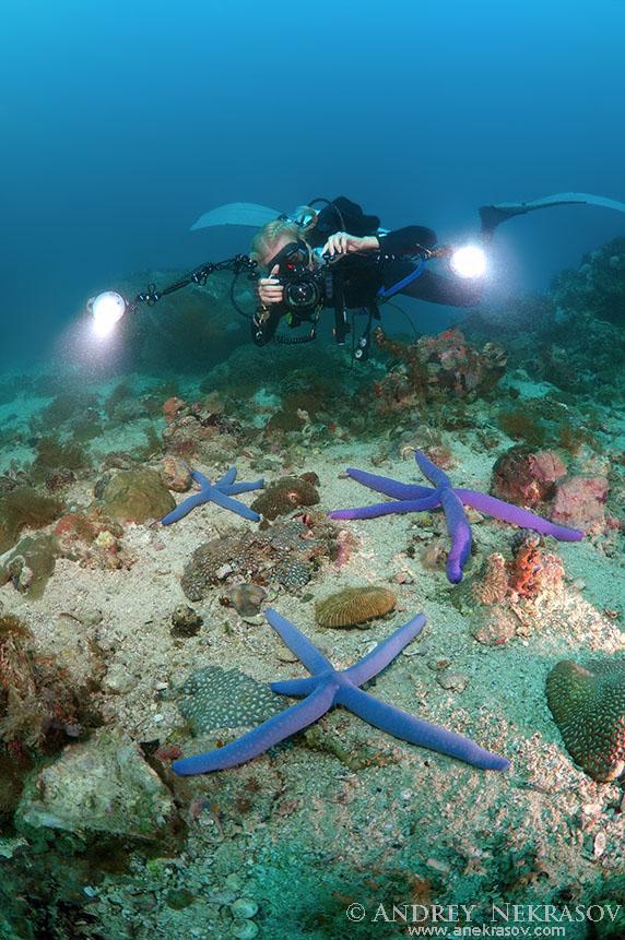 Woman diver photographs starfish Blauer Seestern (Linckia laevigata), Bohol Sea, Philippines, Southeast Asia