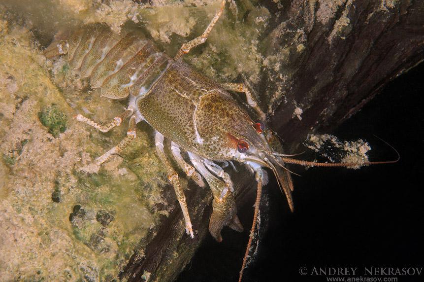 European crayfish, noble crayfish or broadfingered crayfish (Astacus astacus) granite quarry Aleksandrovskiy, Ukraine