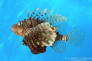 Red lionfish (Pterois volitans)  Red Sea, Egypt, Africa