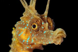 Shortsnouted Seahorse (Hippocampus hippocampus), Black Sea, Crimea, Russia