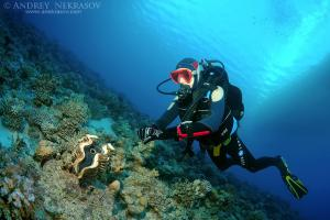 Diver looking at maxima clam or small giant clam (Tridacna Maxima) Red sea, Egypt, Africa