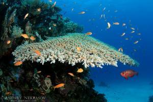 The life of a coral reef, Red sea, Marsa Alam, Abu Dabab, Egypt