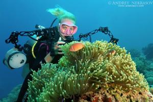 Woman diver photographs pink skunk clownfish or pink anemonefish (Amphiprion perideraion) Bohol Sea, Philippines, Southeast Asia