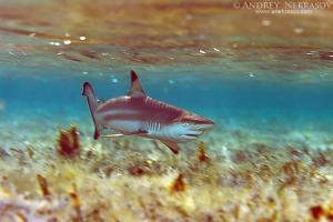 Grey reef shark (Carcharhinus amblyrhynchos), Red sea, Egipt