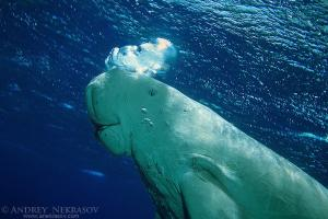 Dugong (Dugong dugon), Red sea, Egipt