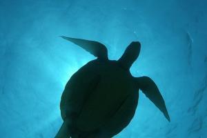 green sea turtle, green turtle, black sea turtle, or Pacific green turtle (Chelonia mydas) Bohol Sea, Philippines, Southeast Asia