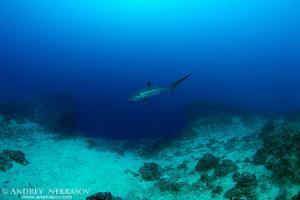 common thresher shark (Alopias vulpinus)  Bohol Sea,  Philippines, Southeast Asia