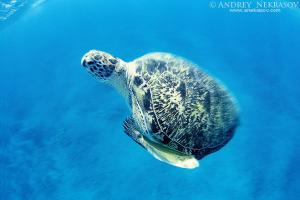 Green turtle (Chelonia mydas), Red sea, Egipt