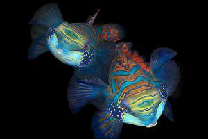 mandarinfish or mandarin dragonet (Synchiropus splendidus) courtship. Bohol Sea, Cebu, Philippines, Southeast Asia