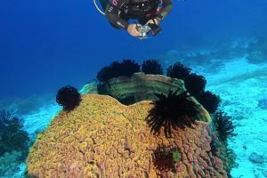 Diver photographing a Giant Barrel Sponge (Xestospongia muta) Bohol Sea, Philippines, Southeast Asia